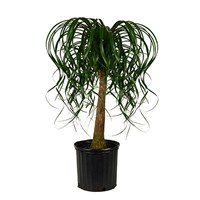 10_Inch_Ponytail_Palm_w